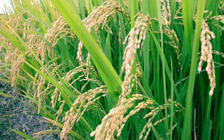 Técnicos argentinos crearon una cerveza de arroz apta para celíacos