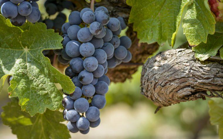 Elogio del Merlot: Bodega Domaine Bousquet presentó su flamante cosecha
