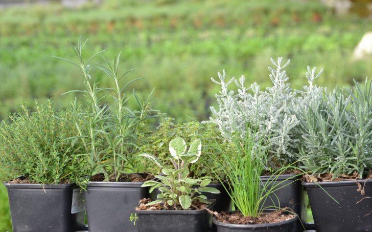 Cultivo, usos y curiosidades de las plantas aromáticas